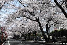 与保呂川の千本桜:舞鶴医療センター横